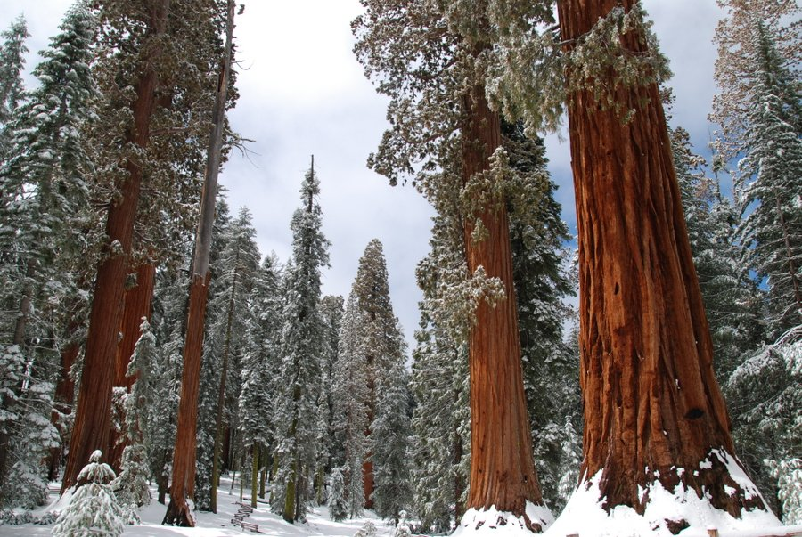 Christmas Trees in Yosemite