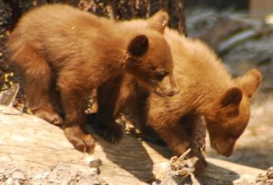 Giving Tuesday Yosemite Bears