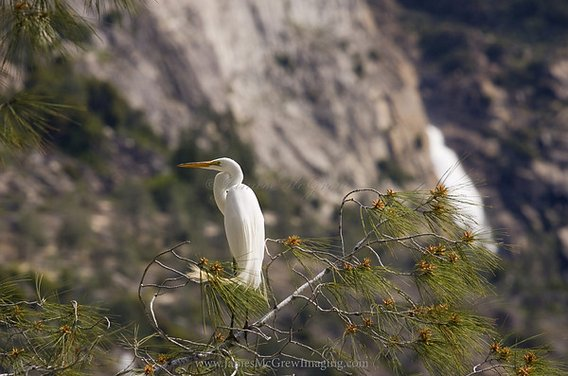 Yosemite Birding Tours McGrew