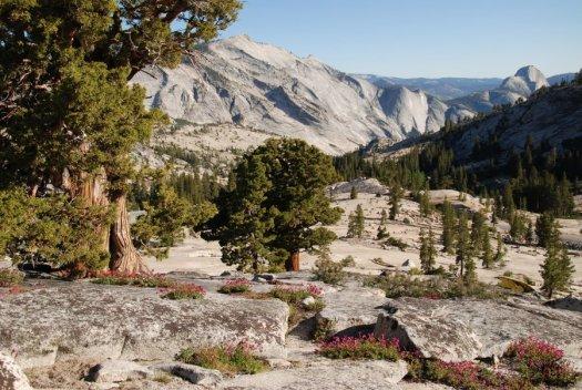 Yosemite-Olmsted-Penstemon-YExplore-DeGrazio-Jun2014