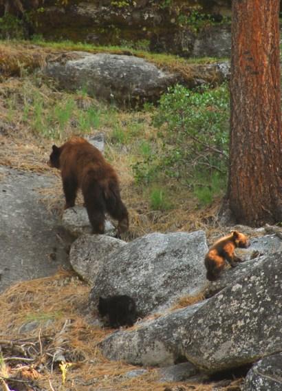 Yosemite-Bears-YExplore-DeGrazio-JUN2008