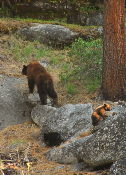 Yosemite-Bears-YExplore-DeGrazio-JUN2008