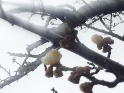 咲きだした白梅(芝生広場)140313_111508.jpg