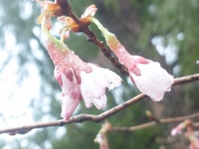 キンキマメザクラ(近畿豆桜)140320_102959.jpg