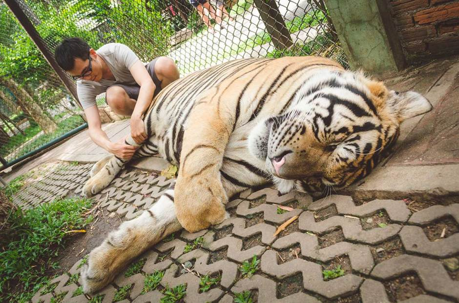 Massaging a huge tiger! The tiger seems enjoying much of it!