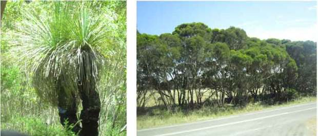 Yacca trees and gum trees in Adelaide - YML v/Henny Jensen