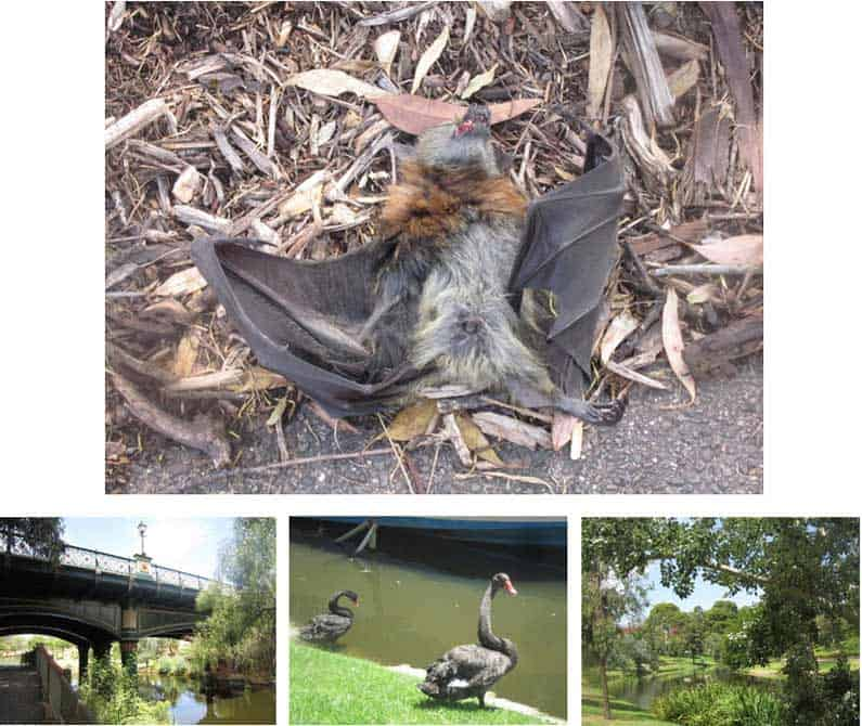 A Flying Fox suffering from a heatstroke due to the weeklong heatwave in January 2014. A passing jogger kindly helped me put the poor little fellow to sleep as ants were invading him - Henny Jensen