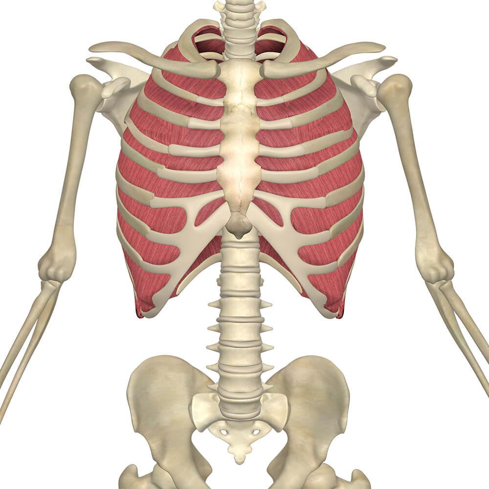 hight resolution of external and internal intercostal muscles