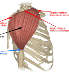 the deltoid muscle [ 1000 x 800 Pixel ]