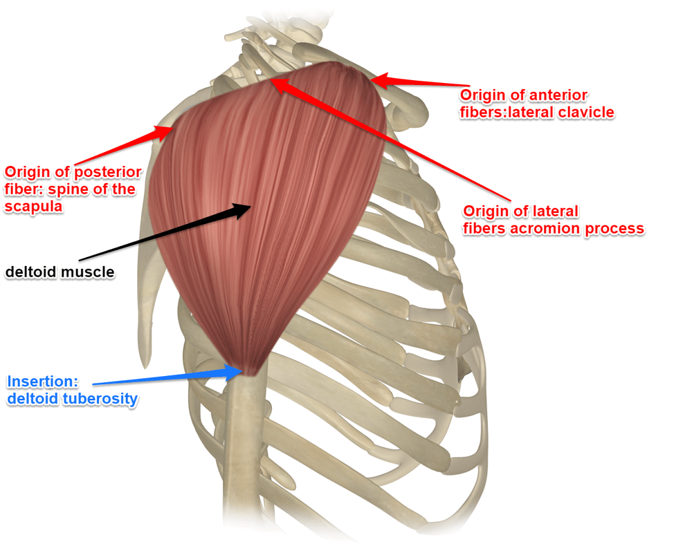 hight resolution of the deltoid muscle