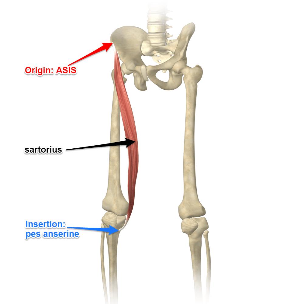 medium resolution of the sartorius muscle