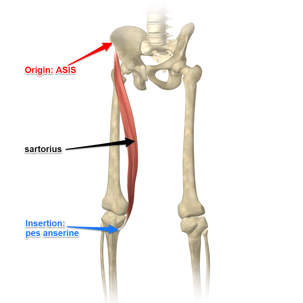 hight resolution of the sartorius muscle