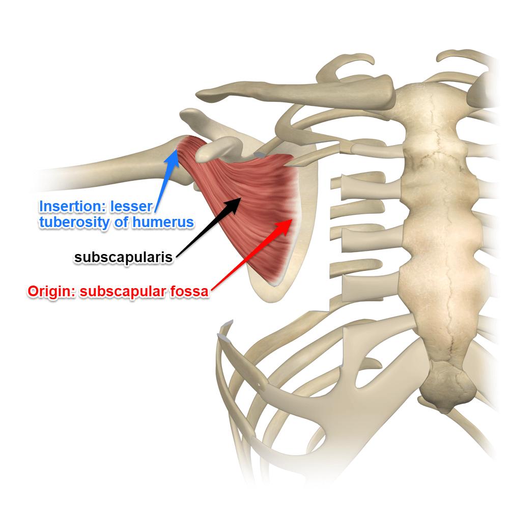 medium resolution of subscapularis last of the rotator cuff muscles