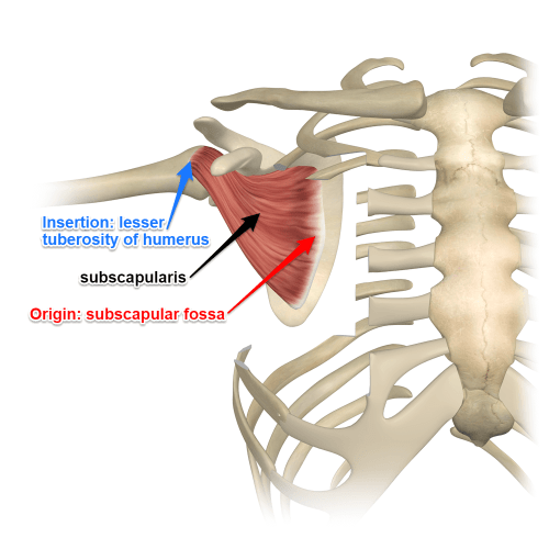 small resolution of subscapularis last of the rotator cuff muscles