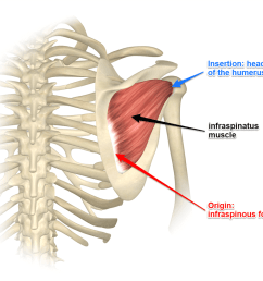 exploring the infraspinatus and teres minor muscles [ 1000 x 818 Pixel ]
