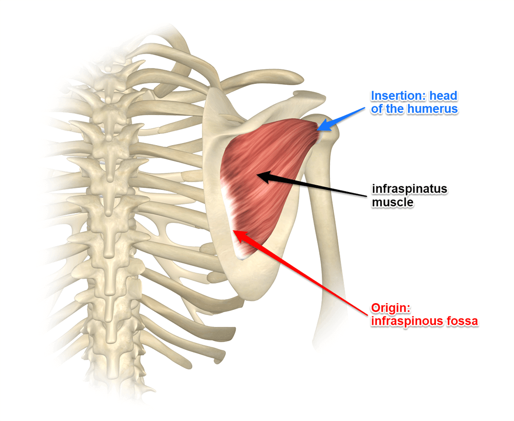 hight resolution of exploring the infraspinatus and teres minor muscles