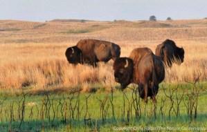 Bison in burned prairie. Niobrara Valley Preserve, Nebraska.