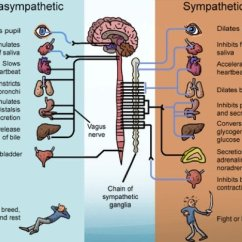Vagus Nerve Diagram Ceiling Fan Switch Wiring Free Download Restoring Balance The Vital Role Of