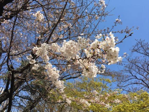 平和台陸上競技場外周の桜