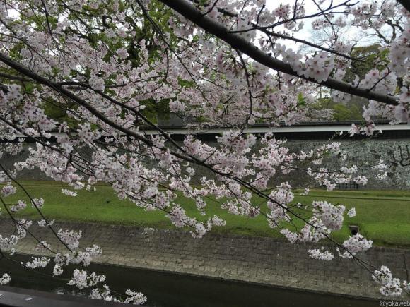 熊本城下の桜
