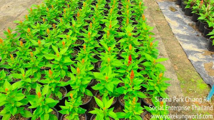 singha-park-chiang-rai-social-enterprise-09