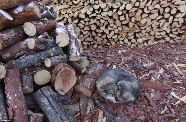 Šuo šildosi ant medžio žievių. Kaimelis priverstas kūrenti medieną, kadangi anglių tiekimas yra nepastovus ir nuolatos stringa.. Nuotr. Reuters