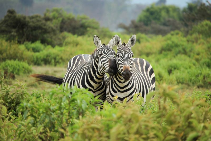 Two zebras share nuzzles. People with EDS call themselves Zebras.