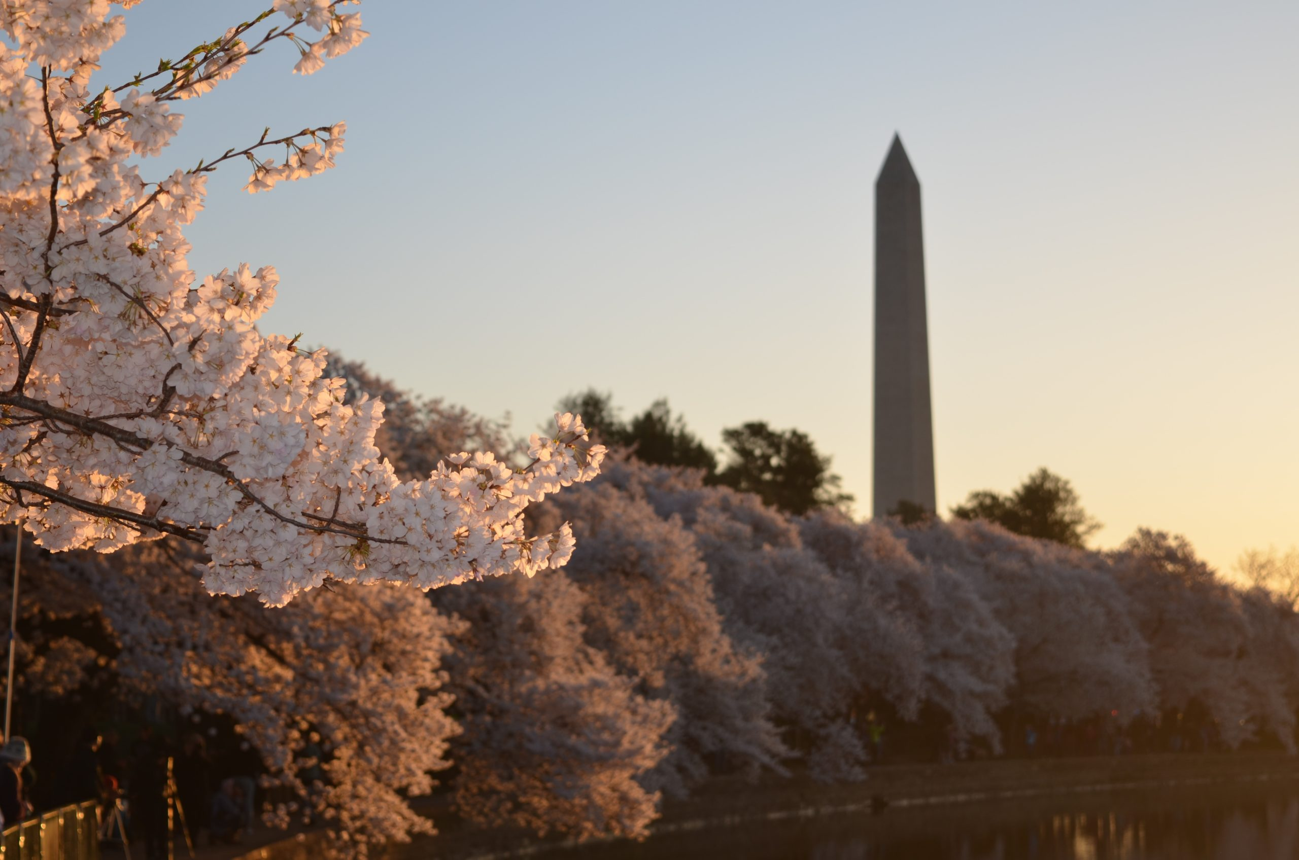 The Washington monument is visible in the sky behind rows of trees with light pink blossoms.