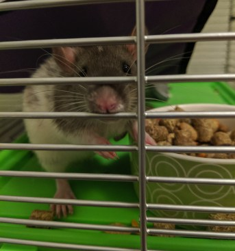 A black and white rat sits next to his bowl filled with food but is distracted by the camera. He sticks his pink nose through the metal bars of his cage.