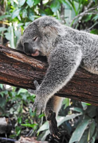 A very fuzzy looking grey koala lounges on a branch, his eyes closed.