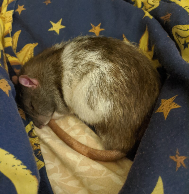 A black and white rat curls up in a ball to sleep, surrounded by a blue blanket with yellow stars.
