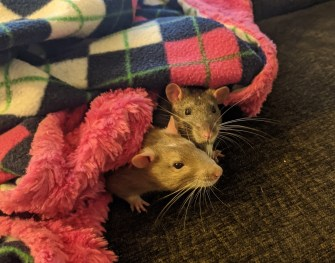 Two rats are mostly hidden under a plaid blue, white, pink, and green blanket with pink fuzzy trim. Only their heads and noses are visible from under the blanket.