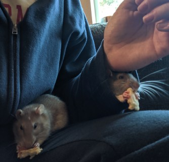 Two rats nibbling on small pieces of pancake. One is sitting in a human's lap, the other has its nose and paws sticking out of the human's sweatshirt sleeve.