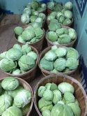 The last of cabbages harvested just before Thanksgiving.