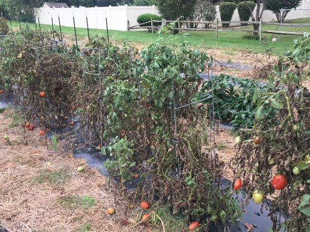 End of tomato plants