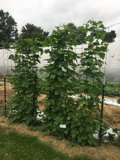 Fall green beans