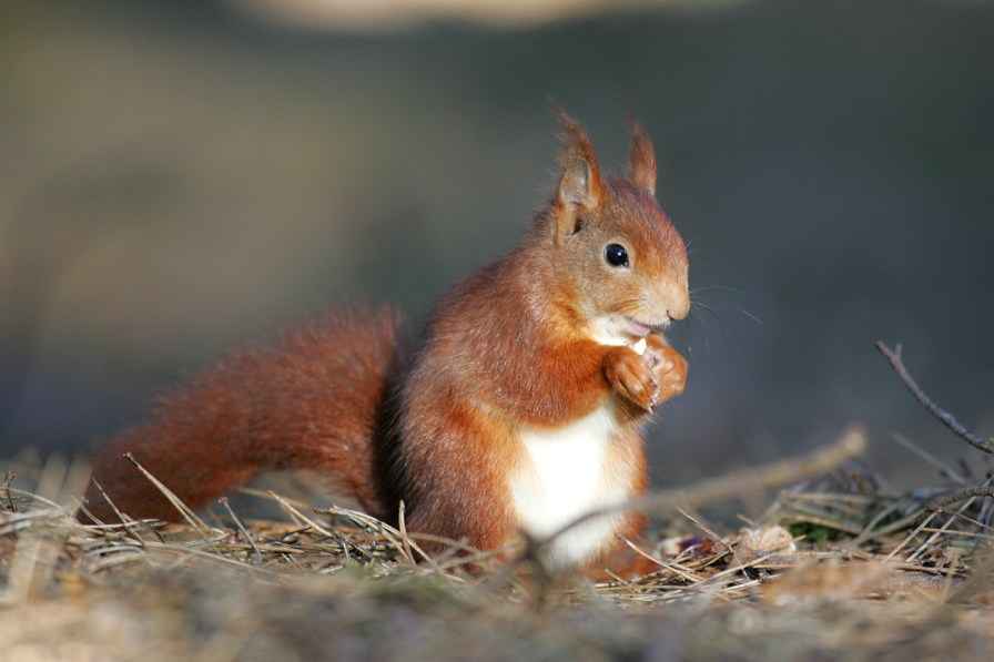 Red Squirrel at Snaizeholme