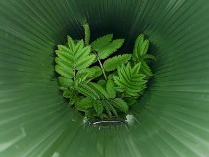 The view down a sapling tube: a rowan is growing beautifully