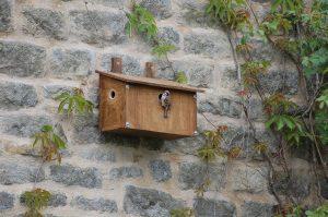 A tree sparrow using a nest box in Embsay (Ian Platt)