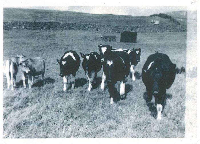 Some of William Porter's dairy herd. Unknown date. Courtesy of William Porter.