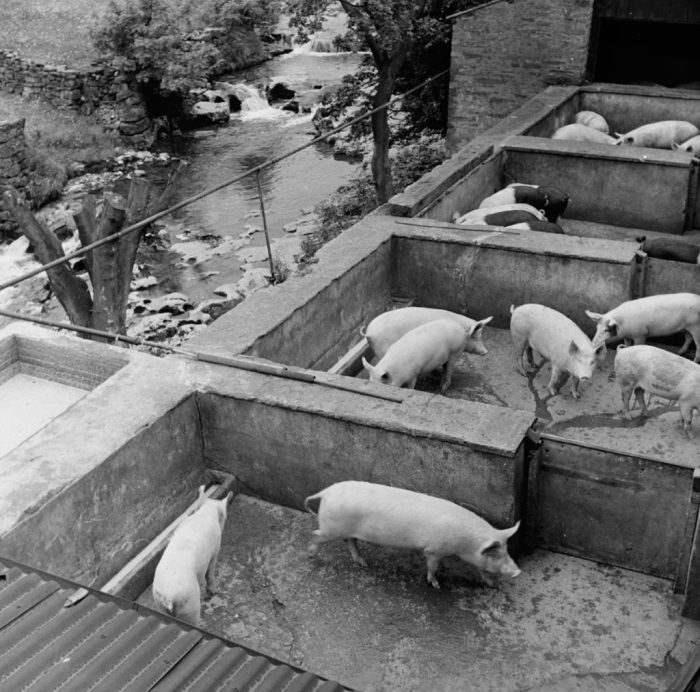 Pig unit in Hawes. 1950s. Photographer Bertrand Unne, with permission of North Yorkshire County Council Archives
