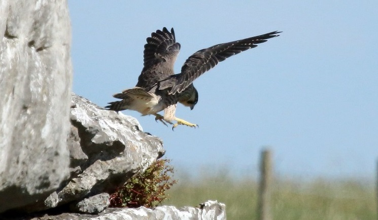 'Birds of prey should be thriving here' - as at Malham Cove, where this peregrine juvenile took flight in 2017. Credit Dave Dimmock