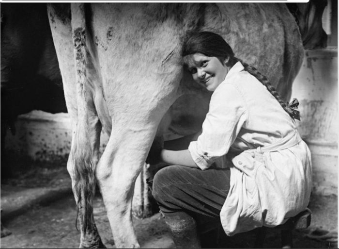 Womens Land Army girl milking. With permission of The National Archives