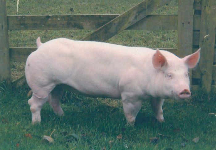 One of Neil Haworth's whey-fed pigs. Courtesy of Neil Haworth