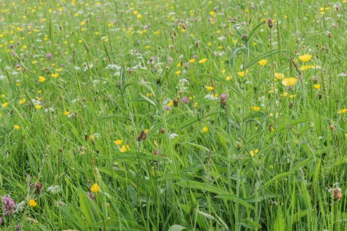 Close up of the second of Sheena's wildflower meadows