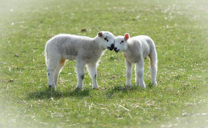 Two lambs in a field