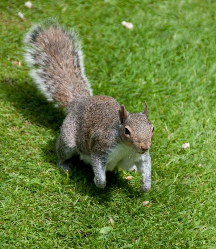 grey-squirrell