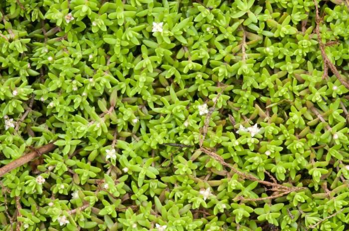 new-zealand-pygmyweed