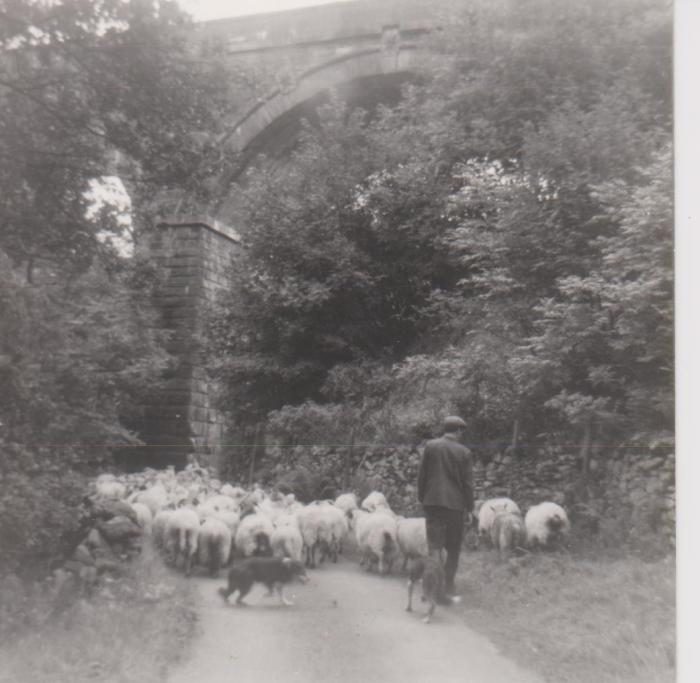 Taking sheep out of Borrowdale, underneath the railway viaduct at Low Borrowbridge, unknown date. Courtesy of Hilary Wilson
