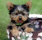 cachorrito de yorkie mini
